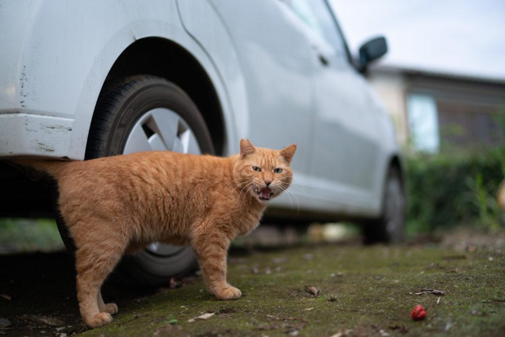 巾着田の猫