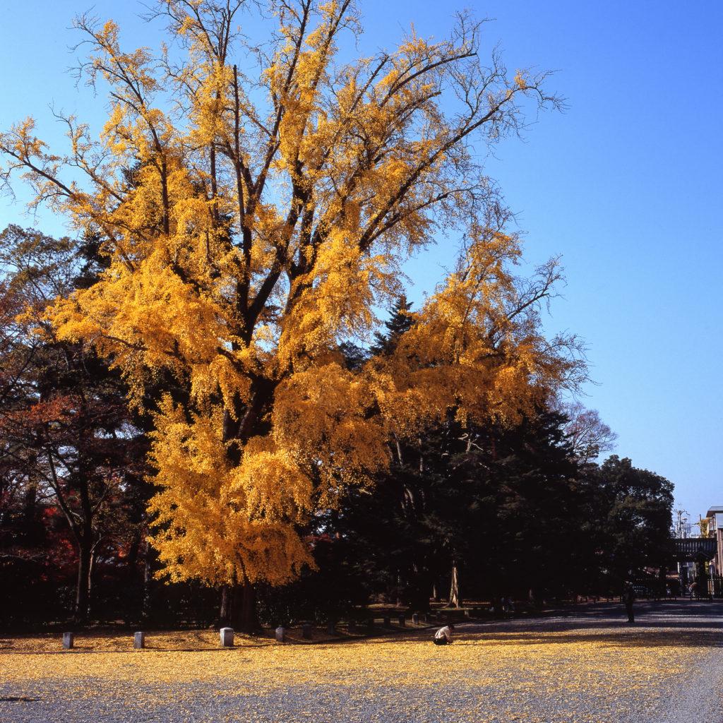富士フィルム Velvia 100F 京都御苑 銀杏